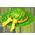 Palmier de Pâques Palmle15