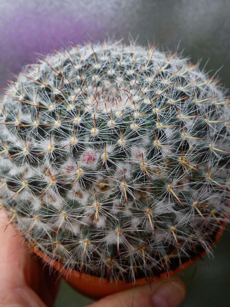 Mammillaria hahniana? 20_03_12