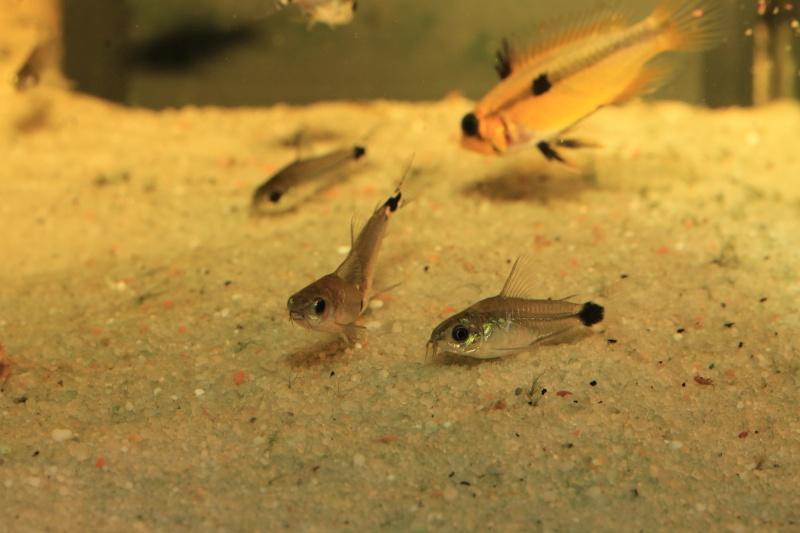 Corydoras hastatus/Hyphessobrycon elachys - Page 4 Corydo24