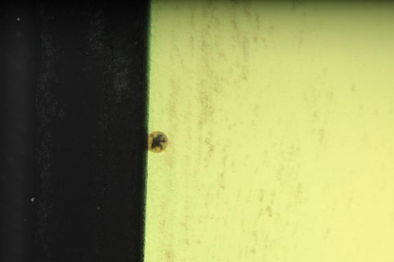 Corydoras hastatus/Hyphessobrycon elachys - Page 4 Corydo52
