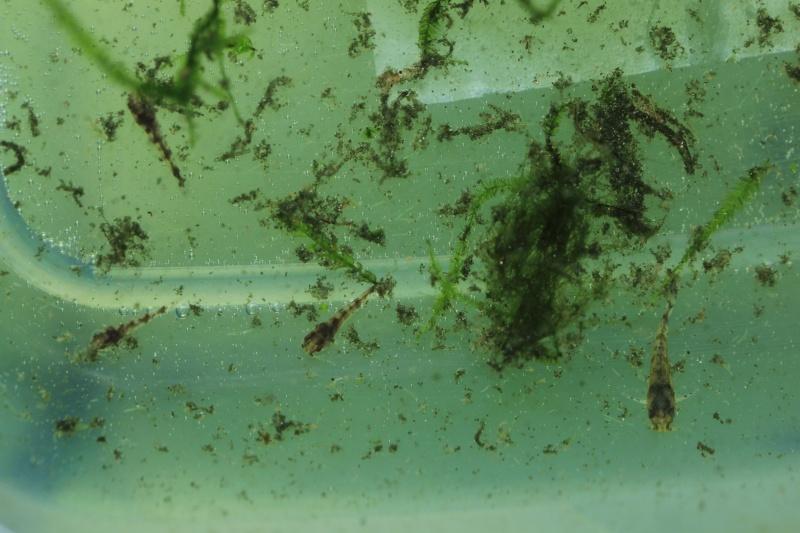 Corydoras hastatus/Hyphessobrycon elachys - Page 5 Corydo60