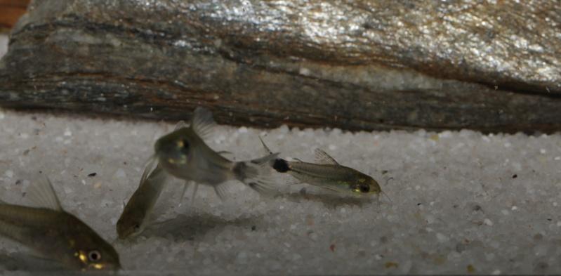 Corydoras hastatus/Hyphessobrycon elachys - Page 5 Corydo77
