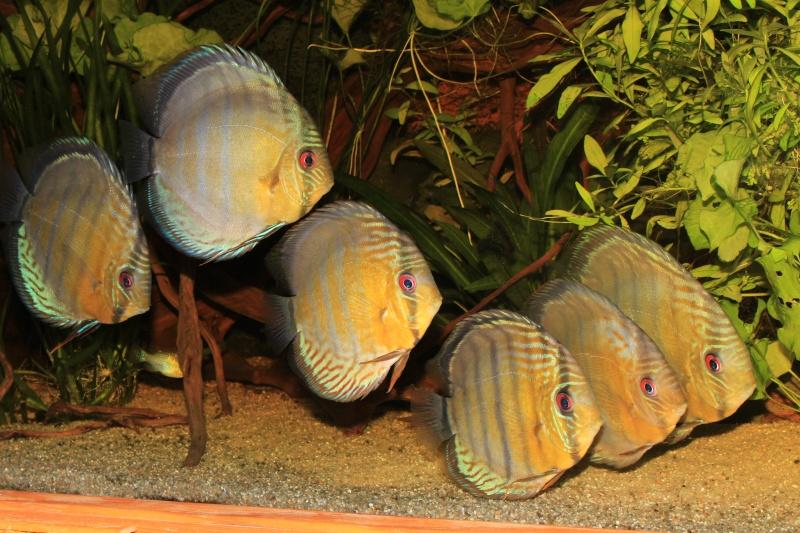Symphysodon tarzoo rio ou lago Tefé Discus11
