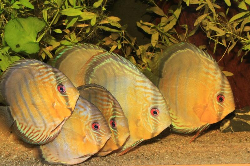 Symphysodon tarzoo rio ou lago Tefé Discus12
