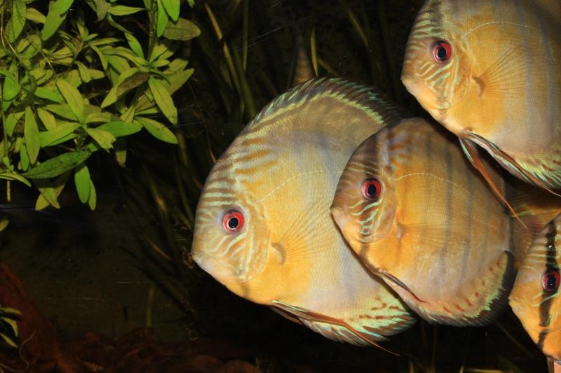 Symphysodon tarzoo rio ou lago Tefé Discus13
