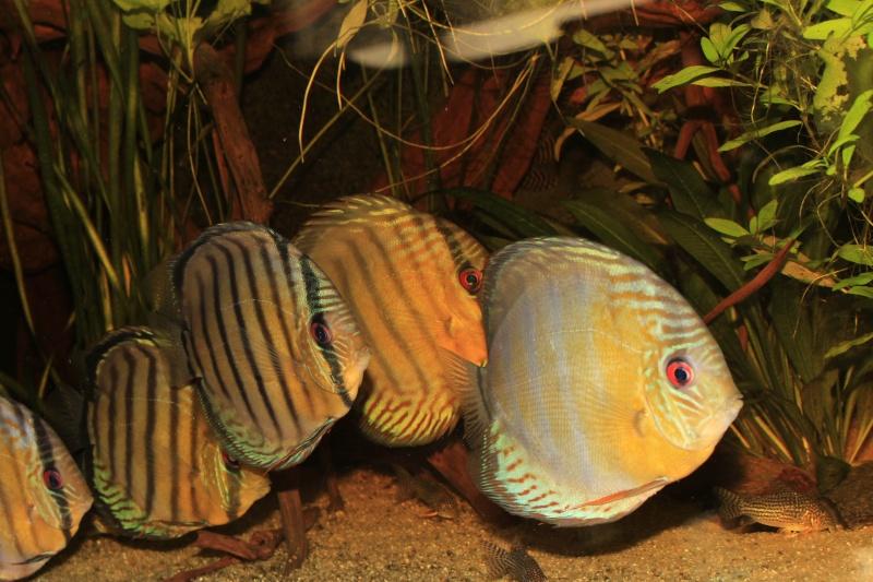 Symphysodon tarzoo rio ou lago Tefé Discus16