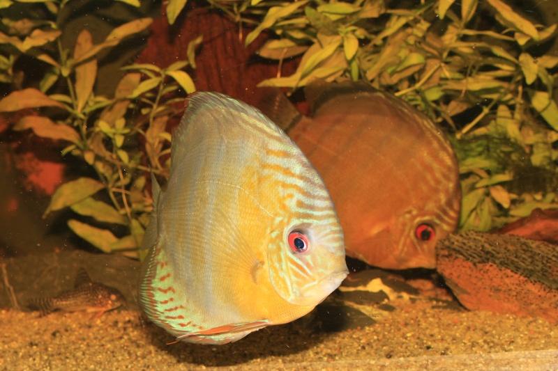Symphysodon tarzoo rio ou lago Tefé Discus19