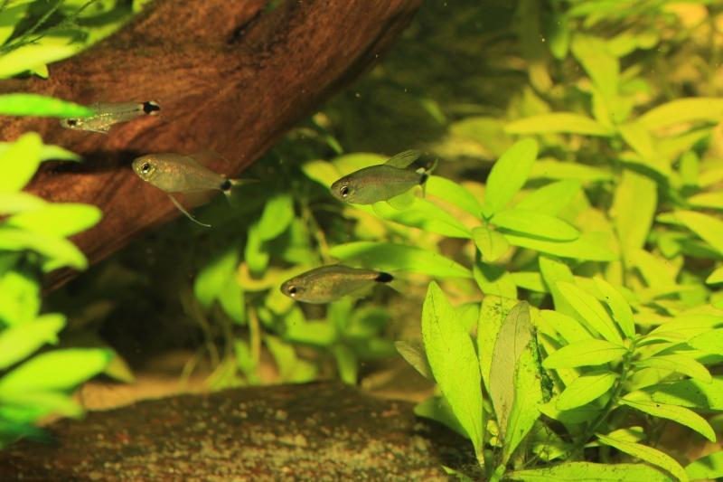 Corydoras hastatus/Hyphessobrycon elachys - Page 4 Hyphes11