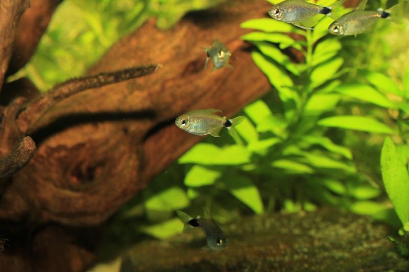 Corydoras hastatus/Hyphessobrycon elachys - Page 4 Hyphes12