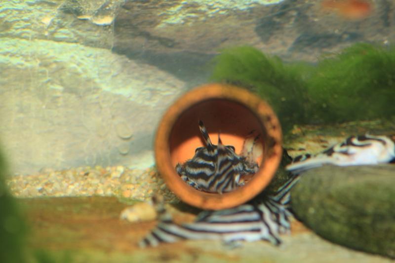 Bac spécifique pour la reproduction d'Hypancistrus zebra - Page 4 Repro_13