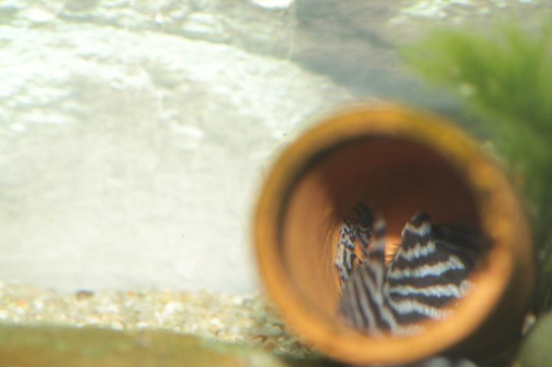 Bac spécifique pour la reproduction d'Hypancistrus zebra - Page 4 Repro_21