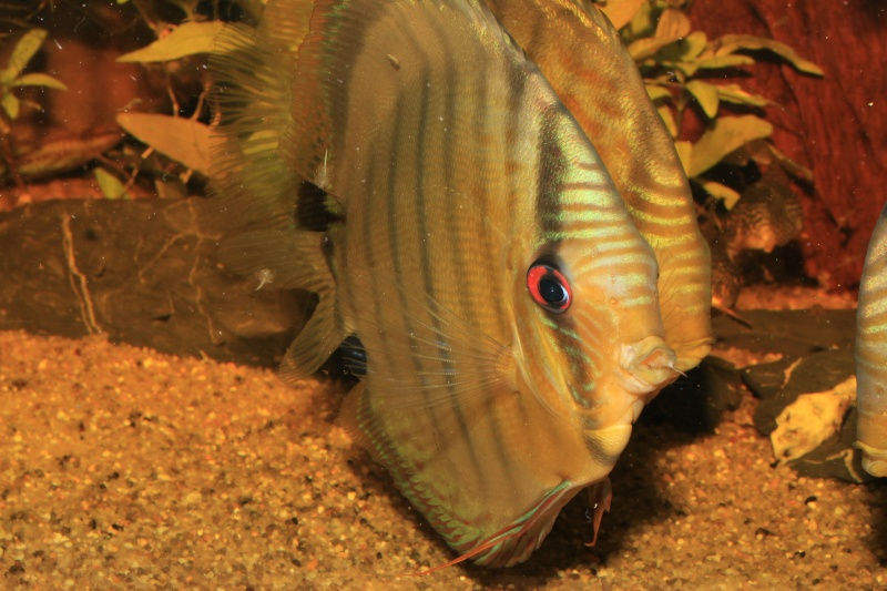 Symphysodon tarzoo rio ou lago Tefé Traite15