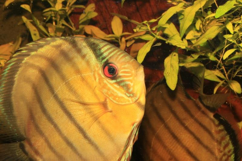 Symphysodon tarzoo rio ou lago Tefé Traite16