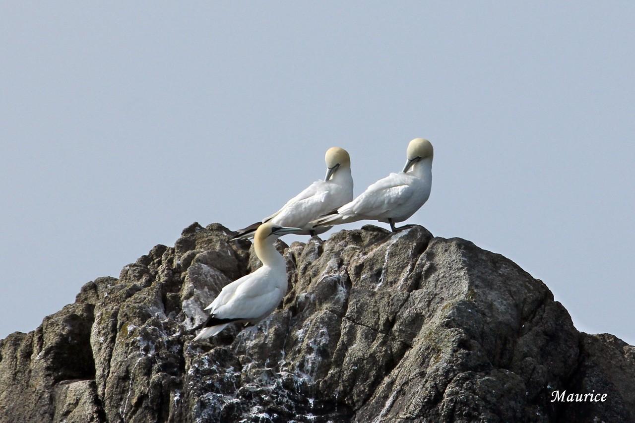 L'Archipel des  sept-iles  27.05.15 et ses oiseaux + 26/27.06.15 + Juin 2016  27051519