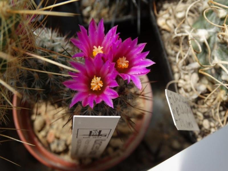 Gymnocactus mandragora ssp. booleanus Dsc00921