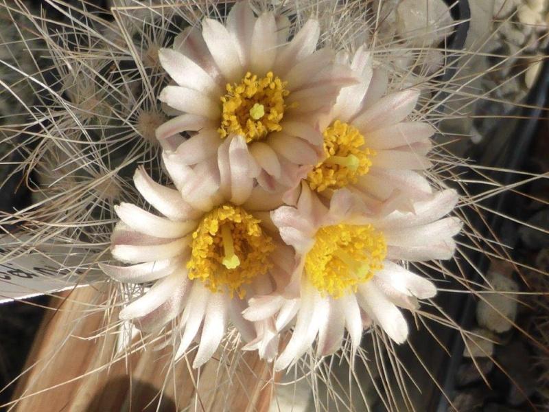 Pediocactus simpsonii ssp. paradinei P1060812