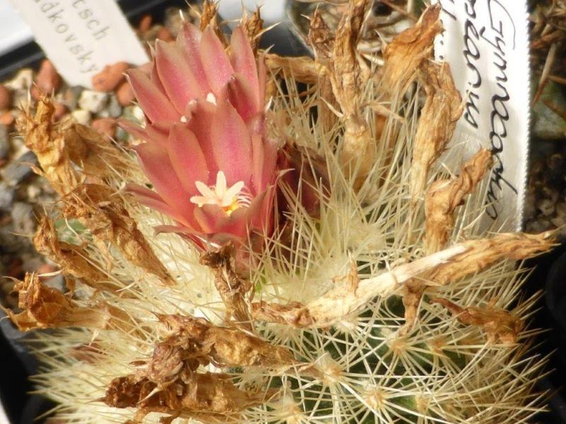 Acharagma roseanum ssp. roseanum P1060830