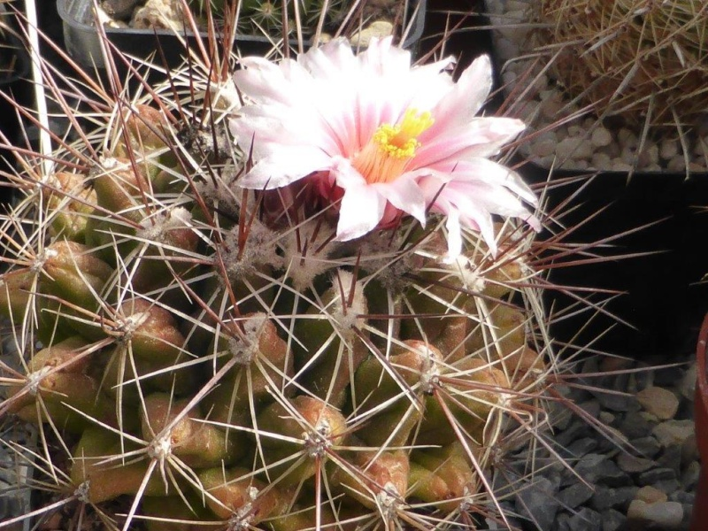 Thelocactus garciae P1060834