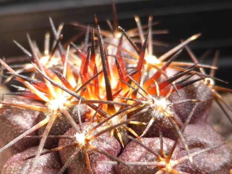 Copiapoa echinoides P1070120
