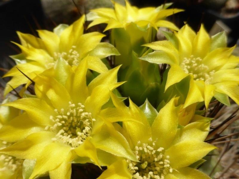 Weingartia cintiensis P1070618