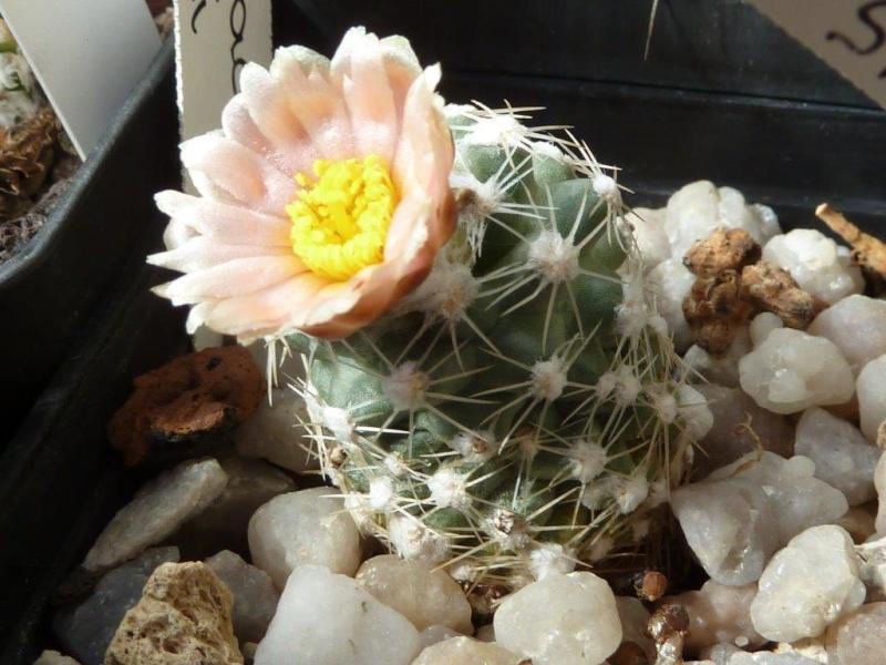 Pediocactus bradyii P1090944