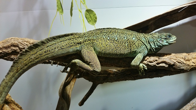 Hydrosaurus Amboinensis Dsc_0310
