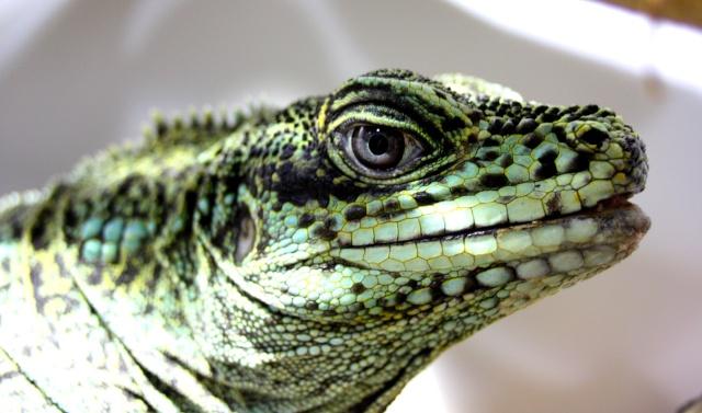 Hydrosaurus Amboinensis Philip10