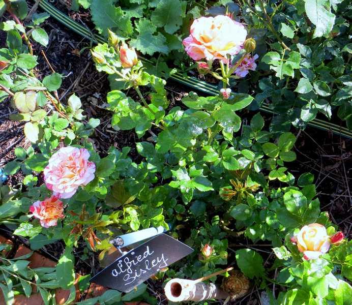 Rosa 'Alfred Sisley' Alfred13
