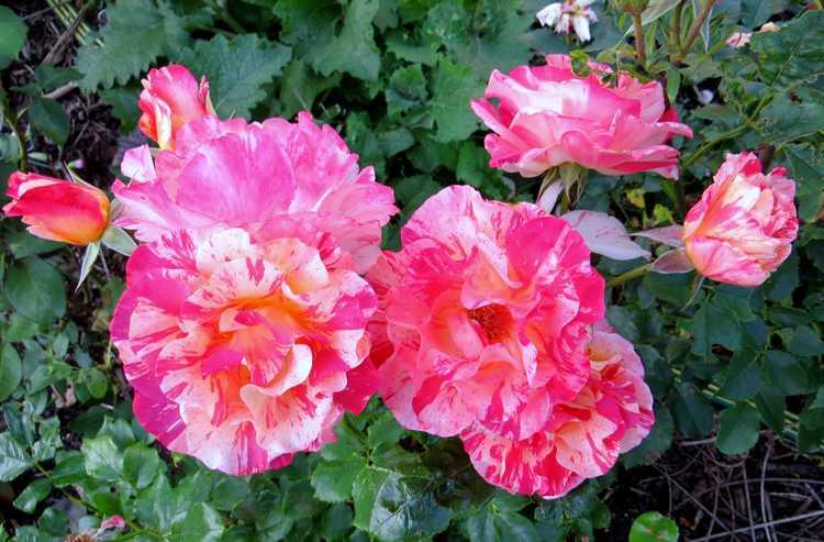 Rosa 'Alfred Sisley' Alfred15