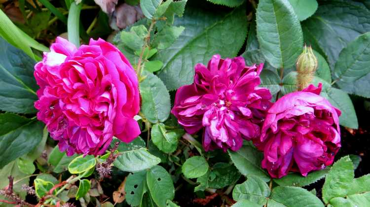 rosier deuil de Paul Fontaine Deuil_14