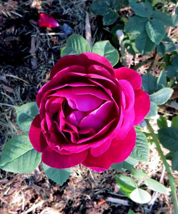 rosier empereur du Maroc Empere10