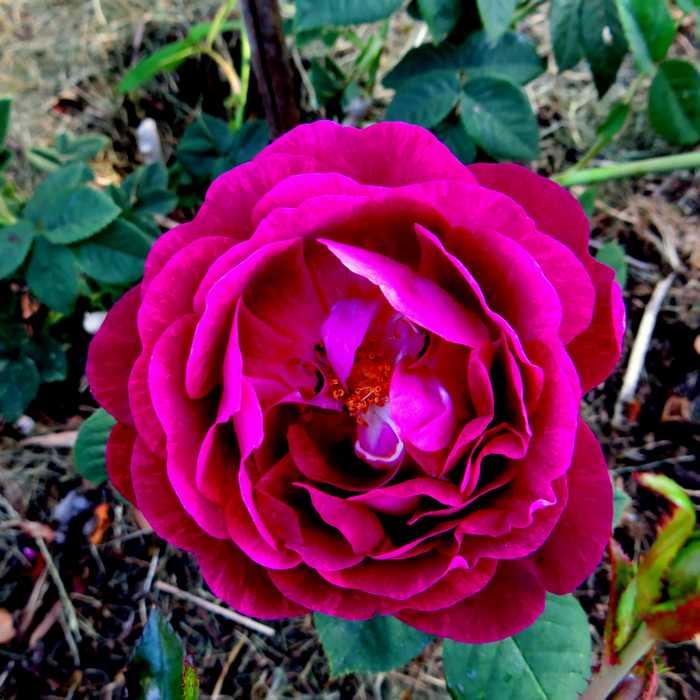 rosier empereur du Maroc Empere12