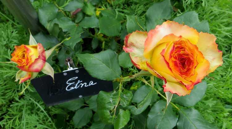 rosier Etna Etna10