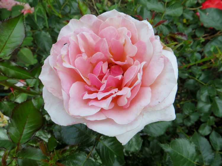 rosier Francis Jammes Franci12