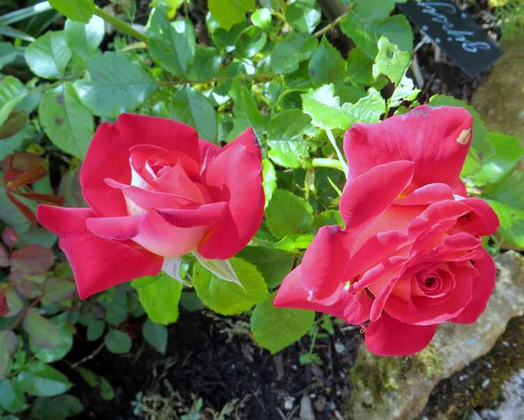 rosier gipsy Gipsy10