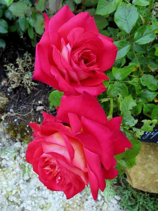 rosier gipsy Gipsy_10