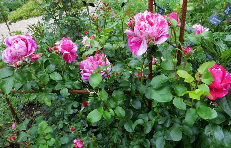 rosier grimpant Inès Sastre Inys_s12
