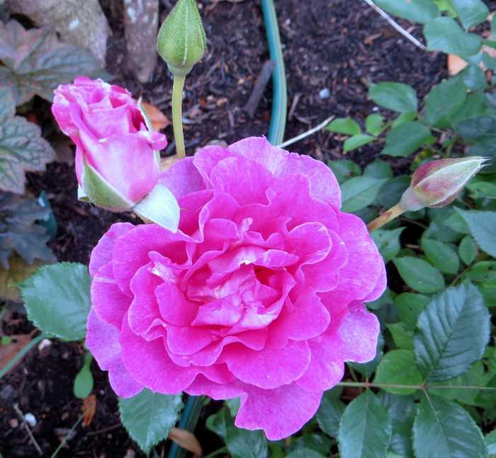 rosier lavande parfumée Lavand10