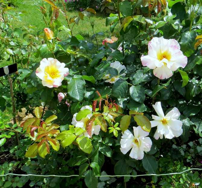 rosa olivier rollinger - Page 3 Olivie12