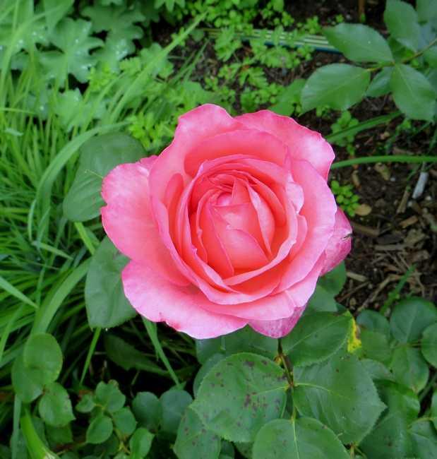 rosa panthère rose - Page 2 Panthy10
