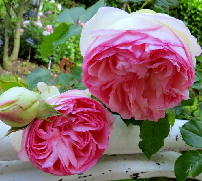 Rosa 'Pierre de Ronsard' !!! - Page 2 Pierre10