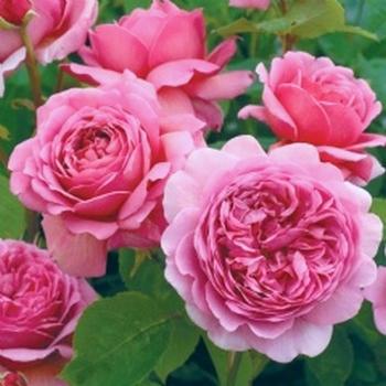 Rosa 'Princesse Alexandra of Kent' !!! Prince10