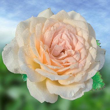 rosier sweet love Rosier13
