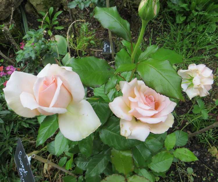 rosier sweet love Sweet_11
