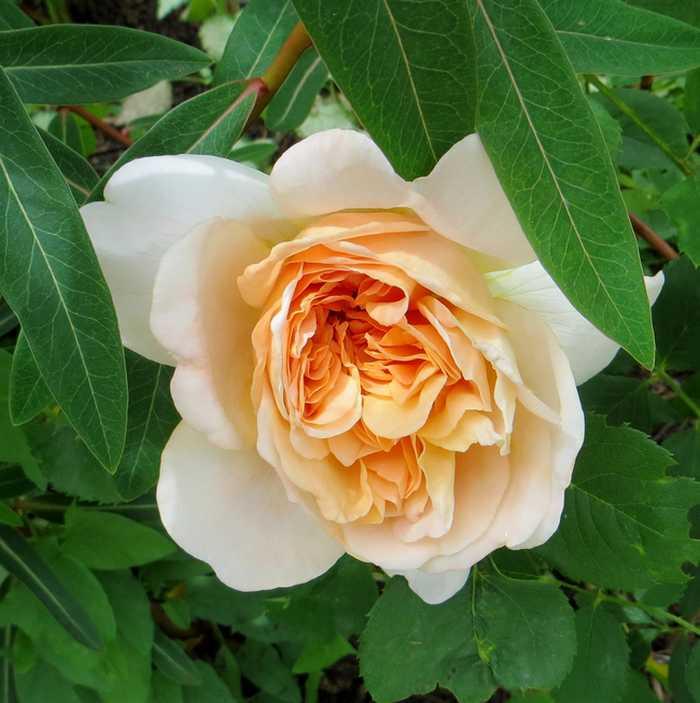 rosier Tea Clipper Tea_cl10