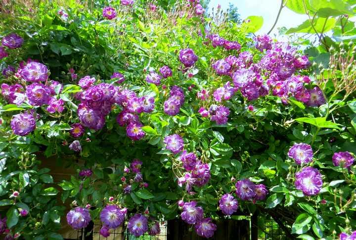 Rosa 'Veilchenblau' ! - Page 2 Veilch11
