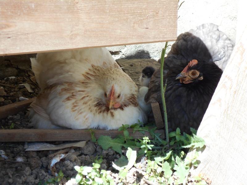 Mon mini-zoo... à plumes Dscn0112