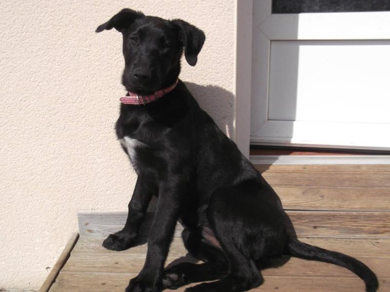 JENNY, femelle croisée labrador/berger, 2 ans et demi Jenny10