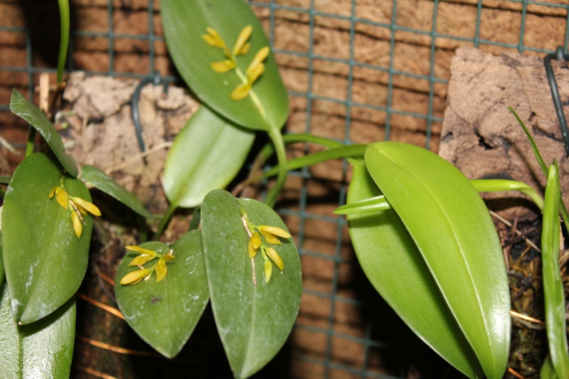 Acianthera luteola - Kultur Pur  Img_3013