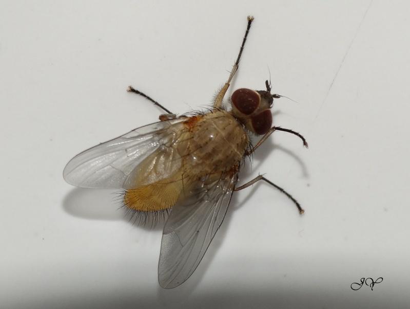 Muscidae. Dipter10